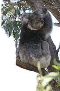 feature_pic_koala